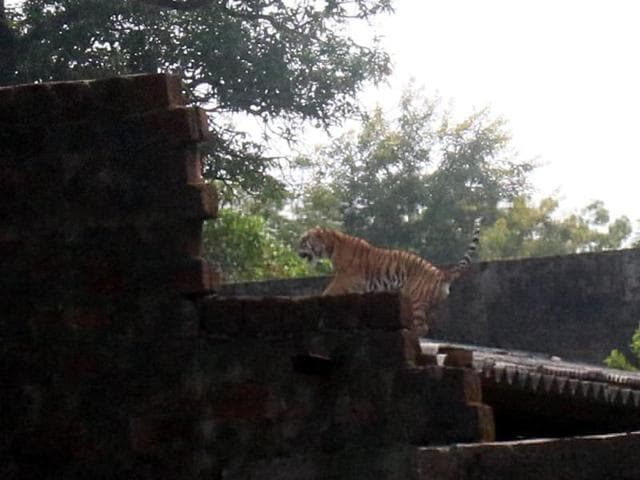 The tiger that had wandered onto the premises of an institute at Nabibagh on the outskirts of Bhopal on Thursday was tranquilised and safely captured by a team of the forest department.
