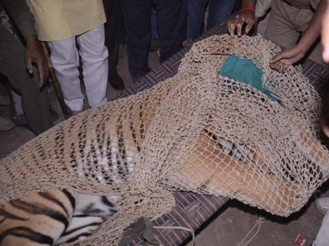 The tiger that had wandered onto the premises of the institute at Nabibagh on Thursday on the outskirts of Bhopal falls unconscious inside a room.