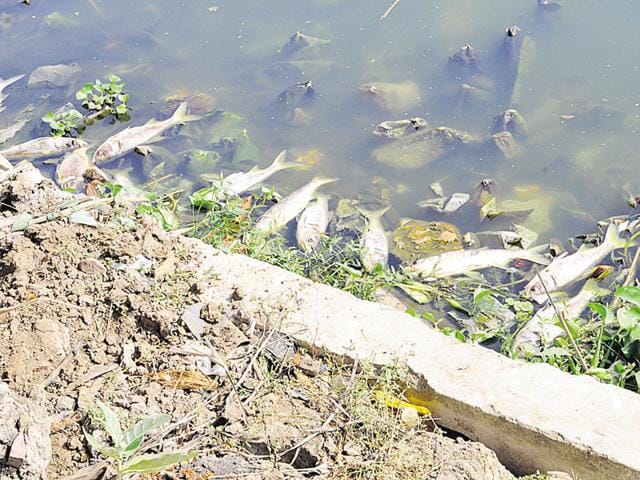 Dead fish wash up in Bhopal's Lower Lake.