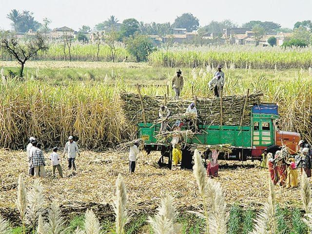 cash subsidy,sugarcane farming,rural economy