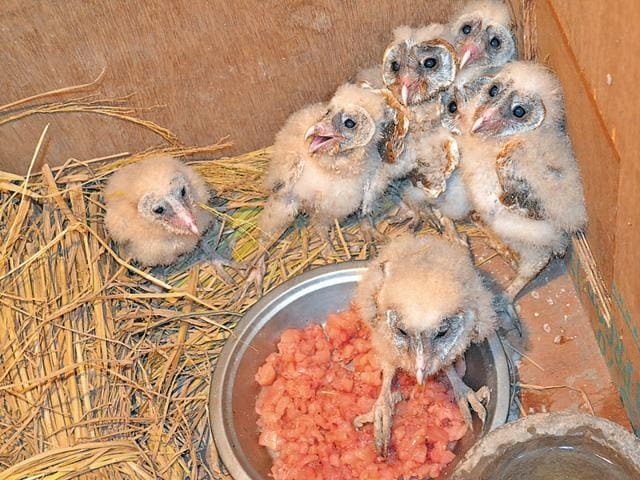 Barn owl chicks at the Chhatbir Zoo hospital.