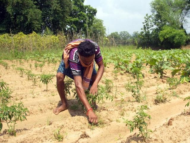 A farmer tends to his crop in Kharamal village of parched Paikmal block, Bargarh district, Odisha.