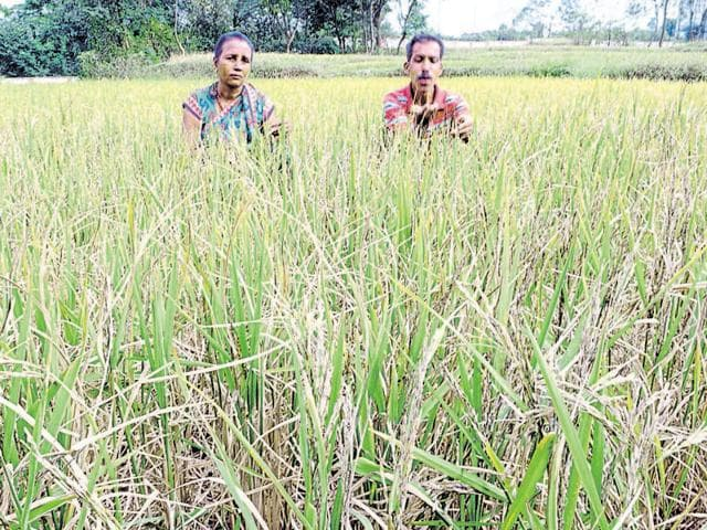 A farmer couple show their damaged paddy crop in Ranchi on Friday.