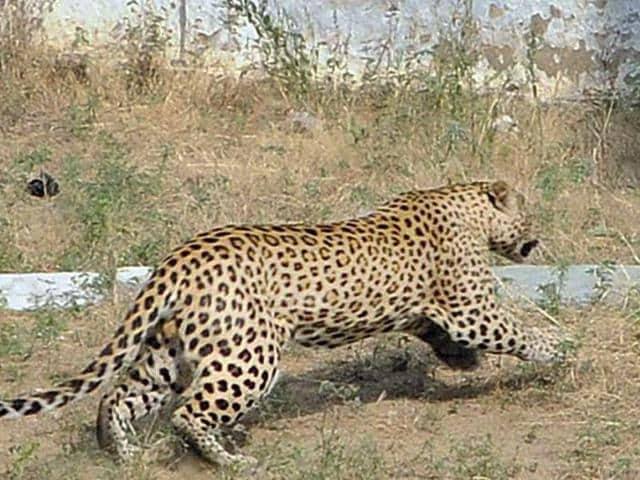 Panther in Jaipur,Man-animal conflict,Panther