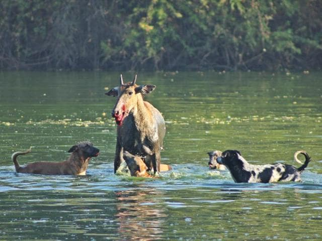 Dogs extract a heavy toll on wildlife of peripheral jungles and around waterholes. Here, village mutts maul a neelgai at Indroda Nature Park, Gandhinagar (Gujarat). The neelgai was eventually brought down and eaten by the pack. PHOTO: VICKEY CHAUHAN