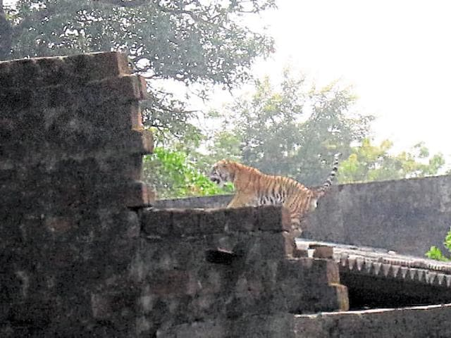 A tiger spotted near Kaliasote Dam in Bhopal recently.