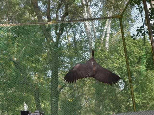 A vulture clings onto the mesh in the pre-release enclosure like a moth to a wall. In sheer panic, the vulture did not make for the regular perches but flew straight into the mesh and adopted this uncharacteristic 'clinging' posture in response to the pitched disturbance within the enclosure during the release ceremony.