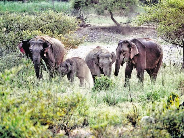 In a fresh incident reported on Thursday night, an elephant reached Nakraunda, on the outskirts of Dehradun, and destroyed paddy and sugarcane crops.