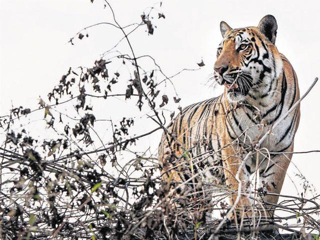 man-tiger conflict,search for tiger near Bhopal,tiger in Kaliasot-Kerwa area of Bhopal