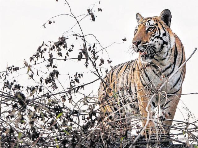 man-tiger conflict