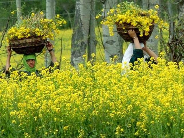 Pental is the chief developer of GM mustard in India.
