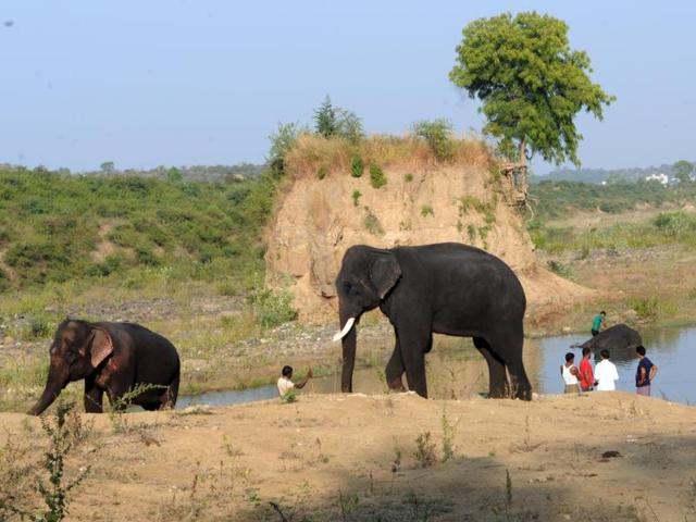 The elephants that are in the city to trace the Tiger T-1 take some time off to cool down in the Kaliasot river on Tuesday.