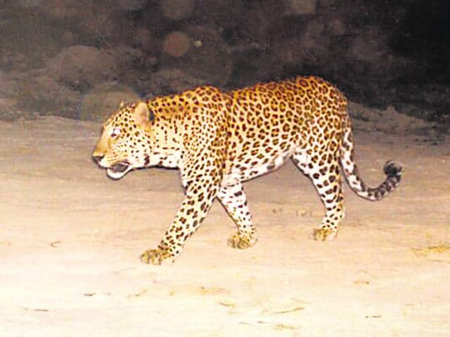 Close-circuit TV cameras at the thermal power company's Dadri plant have captured images of the leopard moving around.
