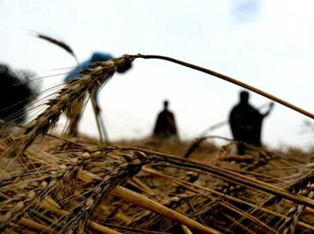 Shahkot,misappropriation of compensation,wheat farmers