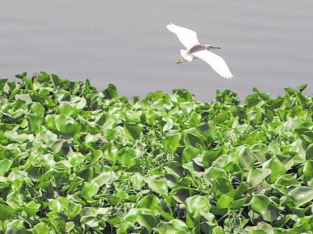 A heron takes flight over a stretch of water hyacinth on river Yamuna. Water hyacinth chokes the surface of water it grows on.