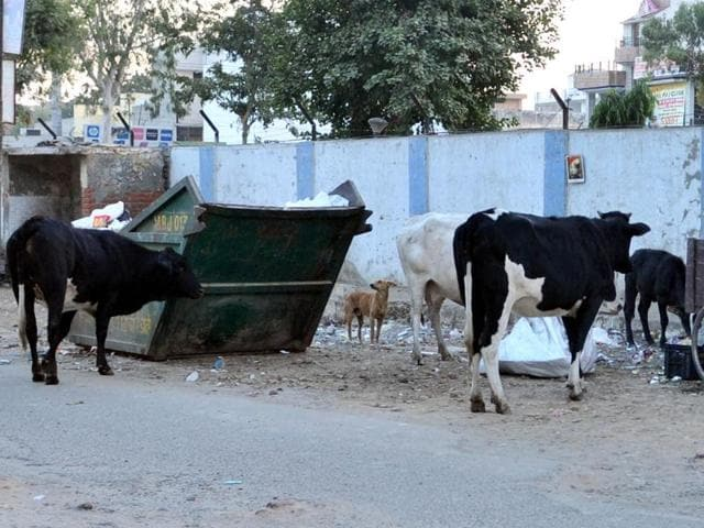 Stray cattle at a garbage dump near BMC Chowk in Jalandhar on Wednesday.