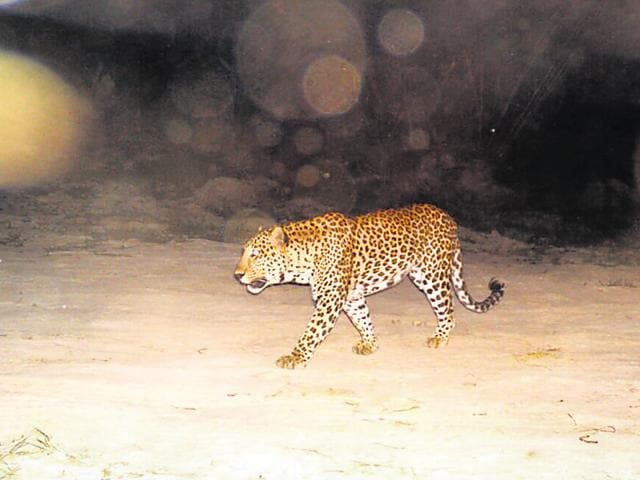 The leopard grabbed in its jaws the girl who was walking back to the village holding her grandmother's hands, and ran into the thick bushes.