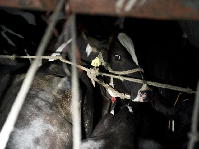 A cow is seen inside a truck after being checked by volunteers of the Gau Raksha Dal (Cow Protection Squad) as they inspect trucks on a highway in Taranagar, Rajasthan. This cow was being legally transported to a dairy. Cow slaughter and consumption of beef are banned in Rajasthan and many states.