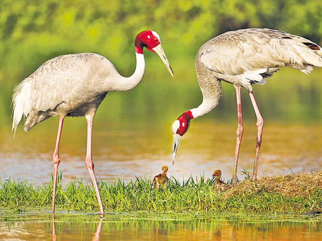 The sarus crane, UP's state bird, was spotted at one of UPNoida's wetlands.(PHOTO BY ANAND ARYA)