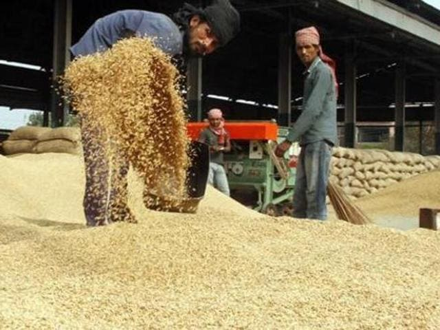 Farmers opted for PUSA 44, which takes 160 days to mature, instead of the Indian Council of Agricultural Research (ICAR)-recommended varieties PR 121, 122, 123 and 124, which take 140-145 days to mature.