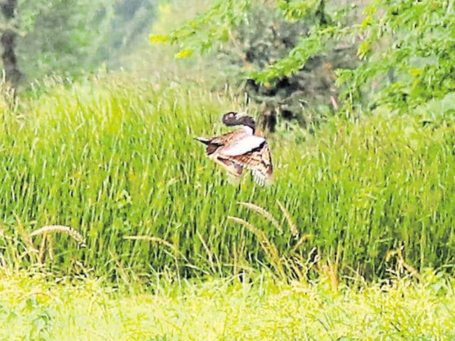 Over the past three years the number of the bustard sightings has come down from 400 to 100 in Rajasthan alone, indicating long-term population decline.