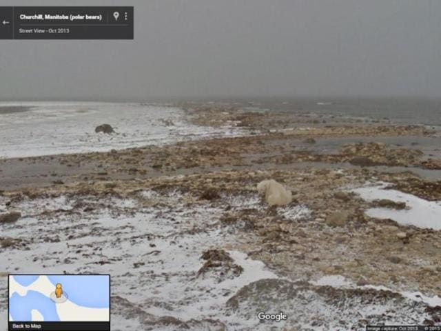 Google's Street feature now shows settings that endangered creatures such as this polar bear inhabit.