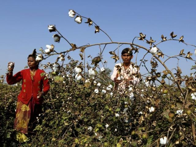 Farmers harvest cotton in a field in Nana Viramgam village in Gujarat.