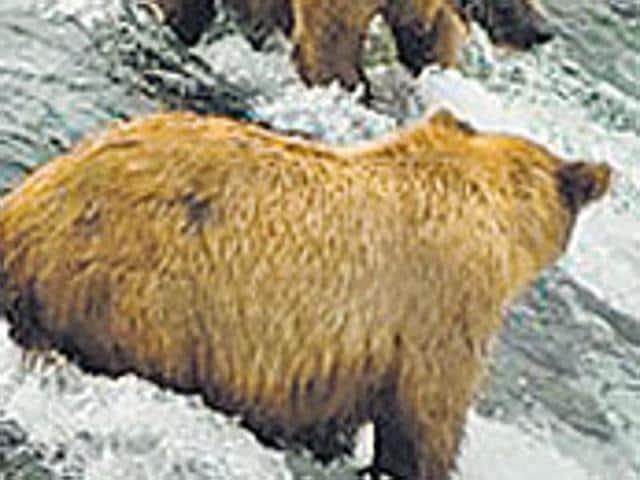 Kashmir,Himalayan brown bear,Line of Control