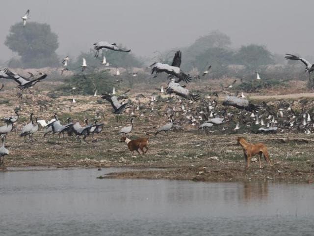 Migratory birds,Zoology,Demoiselle cranes