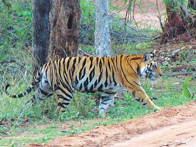 A tiger crossing a jungle trail in Bandhavgarh Tiger Reserve on Thursday.