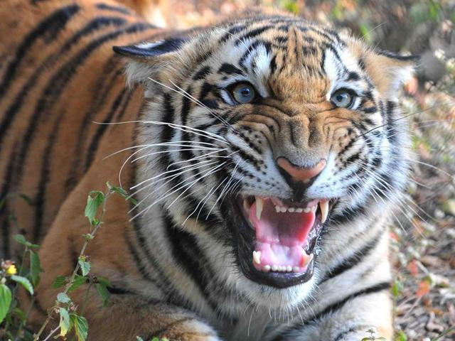 The state forest department had brought in four elephants to track and capture the tigers in the Kerwa forest last fortnight but did not succeed.