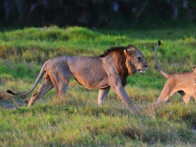 Two of the Marsh Pride lions