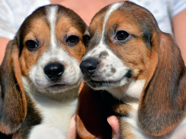 In vitro fertilisation,Beagle,Cocker Spaniel