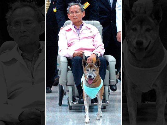 In this file photo, Thai King Bhumibol Adulyadej holds the leash of his dog while sitting in a wheelchair at a hospital in Bangkok. A Thai citizen faces prison after being charged with lese majeste for insulting the king's dog.