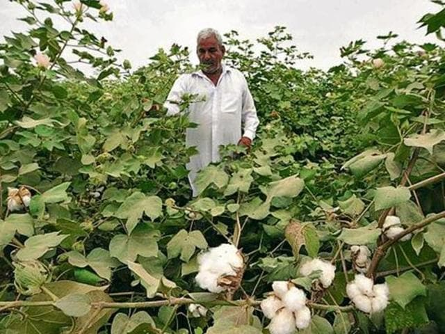 The Punjab government has reported damage to cotton crop in 3.32 lakh hectares, especially in eight cotton growing districts of Fazilka, Bhatinda, Mansa, Shri Muktsar Sahib, Sangrur, Barnala, Faridkot and Moga.