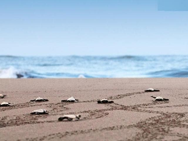 Velas in Ratnagiri district s famous for the Olive Ridely turtles, an endangered species that lays eggs along the coastline