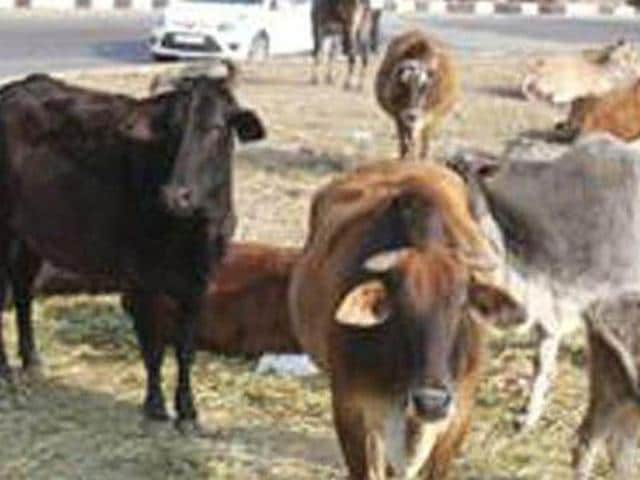 DC said that the administration would start catching the stray cattle to be shifted to the pound by January 15.(HT Photo)