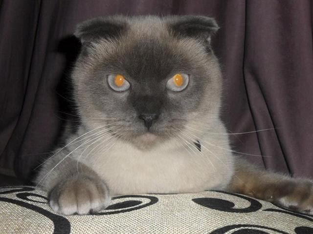 Residents of Barnaul want Barsik the cat to be their next mayor. An informal online poll asking the residents to express their preferences among the six official candidates and the Siamese cat named Barsik, showed the feline nabbing more than 90% of the vote.(AltaiOnline via AP Photo)