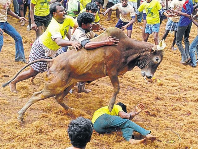 The Supreme Court had banned the sport along with bullock cart racing last year on the ground that jallikattu – which translates to taming the bull – involved cruelty to the animals in the sport.