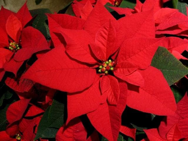 A touch of red can make all the difference, like the poinsettia blooms, christened Christmas Flowers, defy the cold and burst out in crimson glory.
