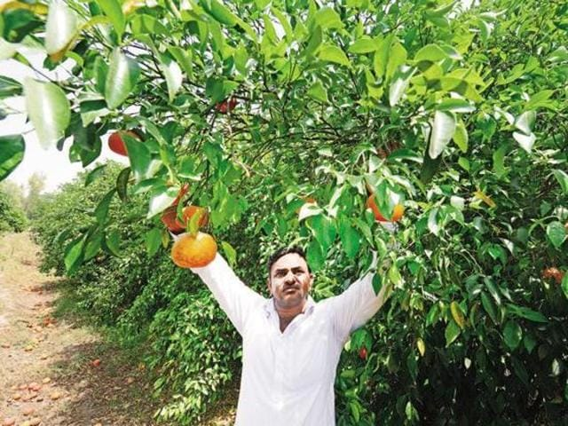 Eighteenth year in running, this waxing plant besides packing off juicy kinnows to the country, provides a unique example of India's unity in diversity.