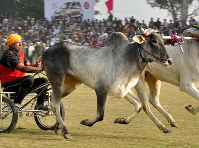The Centre is set to allow popular bull-taming sport Jallikattu and a few other bullock-cart races in 2016, with environment minister Prakash Javadekar on Monday saying that the government would let such cultural practices continue while ensuring that animals were not subjected to cruelty.