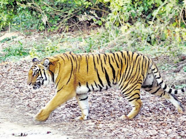 Principal chief conservator of forests (wildlife) Shree Bhagwan said that 10-12 camera traps are being installed to locate the tigress.