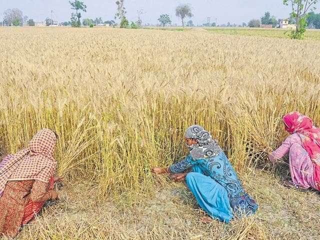 Wheat crop,Winters,Foodgrain output