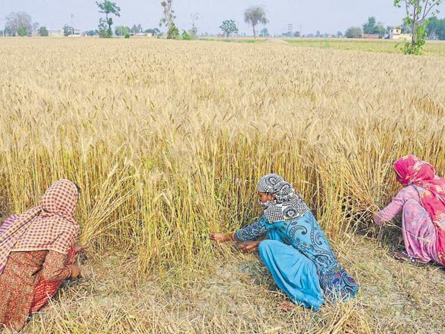 Wheat crop,Winters,Foodgrain output
