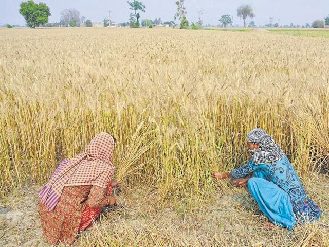 Experts have warned that wheat crop yield will be hit this year in Madhya Pradesh due to high day temperatures.