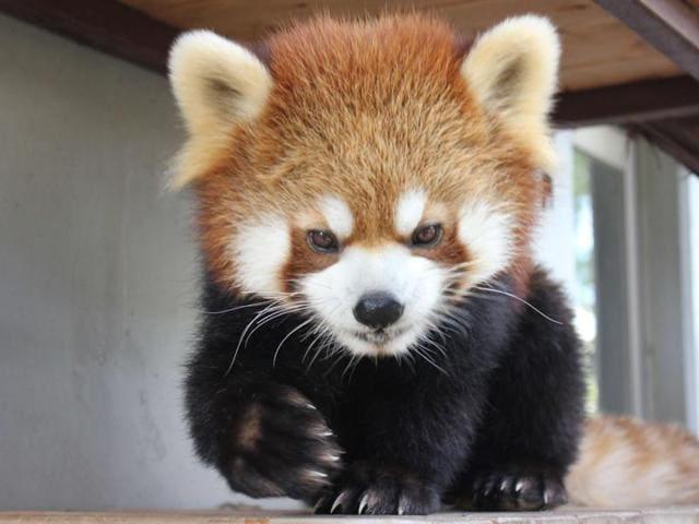 Red panda Sumire,Shizuoka Municipal Nihondaira Zoo in Japan,Mount Fuji