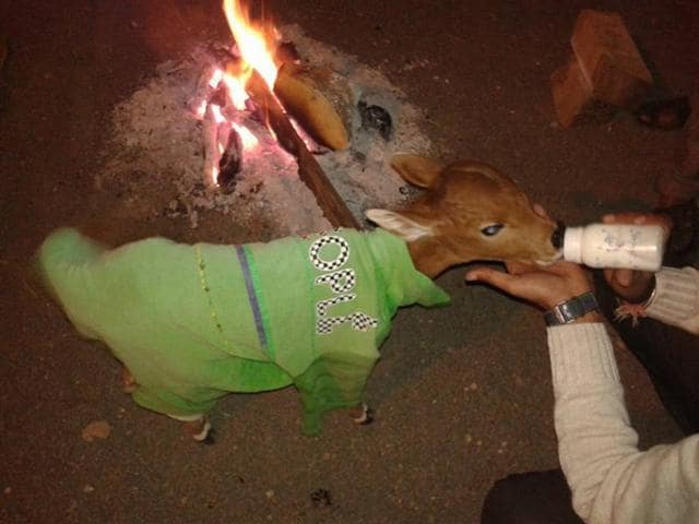 Laalu, a calf, is being fed inside Susner police station.