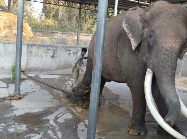 Tusker Rajmangal in the 'musth' condition at the Chhatbir zoo.