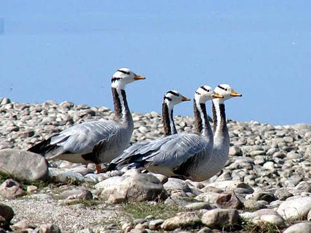 Bar-headed geese,Nature,Pong